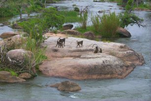 Baboons in the Kruger National Park, South Africa