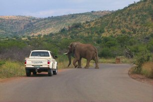 Elephant running after a car, Pilanesberg, South Africa - Pictures