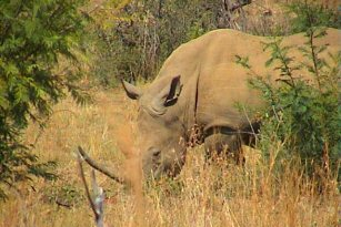 Rhinoceros and other animals, Pilanesberg, South Africa