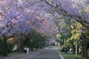 Blue Jacarandas, Pretoria, South Africa